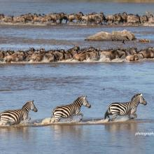 Three zebras and wildebeest herds crossing river in Serengeti