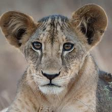 Photo of young lion