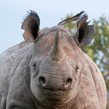 Close up photo of black rhino