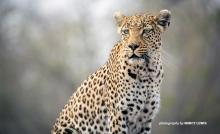 Photo of lone wild leopard in Africa