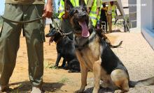 Close-up photo of AWF-trained wildlife detection sniffer dogs on arrival in Maputo, Mozambique