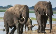 Two African elephants and an African buffalo at a watering hole