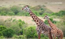 Photo of adult giraffe and young giraffe grazing in open savannah grassland in Tanzania