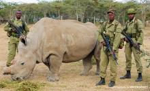 Last male northern white rhino guarded 24/7 by rangers.