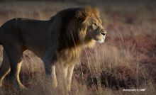 Photograph of male lion