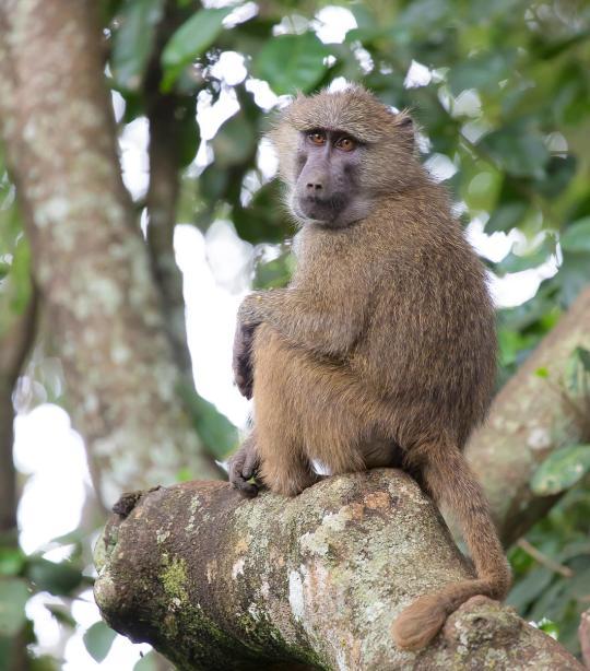 Baboon African Wildlife Foundation