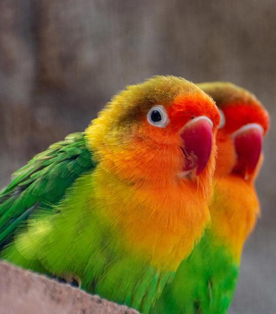 Fischer S Lovebird African Wildlife Foundation