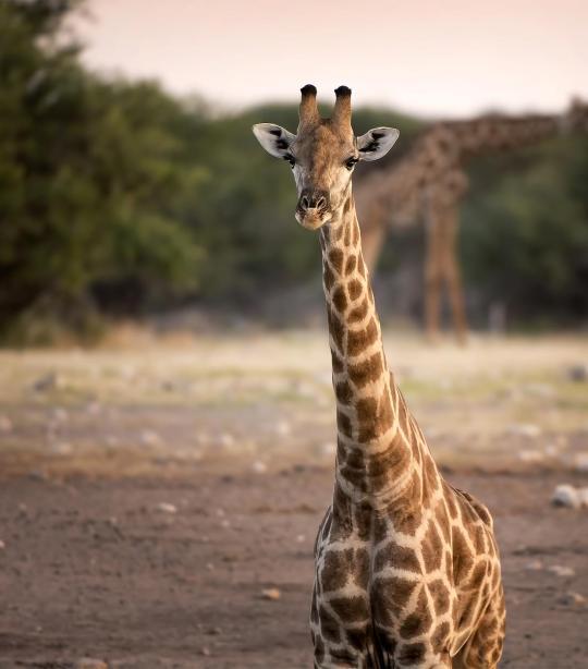 Giraffe African Wildlife Foundation
