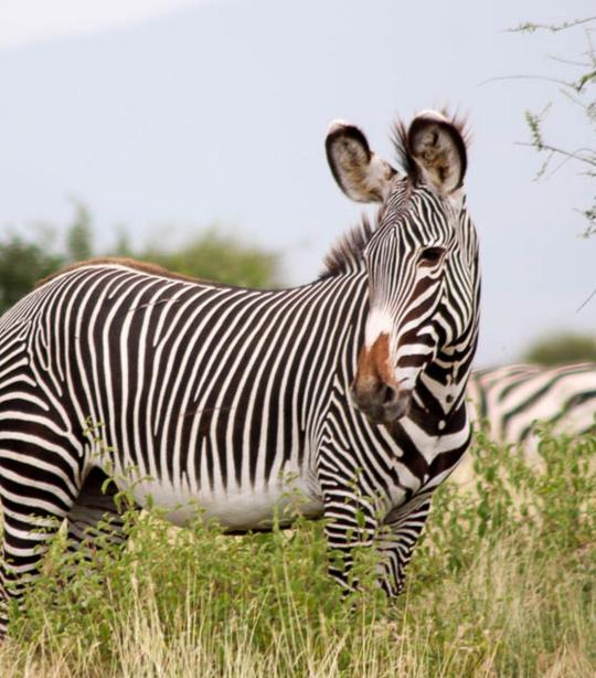 Dating site pentru zebre