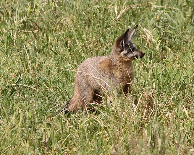 Bat-eared fox in Tarangire during an AWF Safari